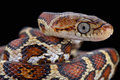 Yellow red rat snake pseudelaphe flavirufa the is a rare non venomous species found in mexico belize and some surrounding Stock Photography