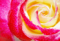Yellow and red rose Stock Image