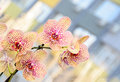 Yellow with red spots orchid close up branch flowers, isolated Royalty Free Stock Photo