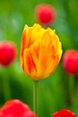 Yellow and red tulip Royalty Free Stock Photo