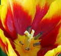 Yellow Red Tulip Flower Macro Royalty Free Stock Photo