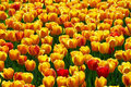 Yellow-red tulip flowers field Royalty Free Stock Photos