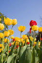 Yellow and red tulip flowers in park Stock Photography