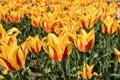 Yellow red tulip garden closeup fire like fresh flowers Royalty Free Stock Photo