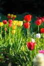 Yellow and red tulip in the garden Royalty Free Stock Photo