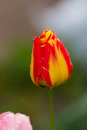 Yellow-red tulip after rain with rain drops close-up Royalty Free Stock Photo