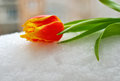Yellow-red tulip on the snow Royalty Free Stock Photo