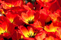 Yellow red tulips Stock Photography