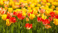 Yellow and red tulips horizontal image of a field of Stock Photo