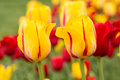 Yellow and Red Tulips in Spring Holland Michigan Royalty Free Stock Photo