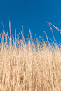 Yellow reeds against a blue sky Royalty Free Stock Photo