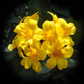 Yellow Rhododendron Royalty Free Stock Photo