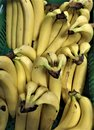 Yellow ripe bananas from the warm southern countries are vitamin-rich, a breakfast,