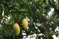 Yellow ripe mangoes hanging on the tree branch Royalty Free Stock Photos