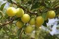 Yellow ripe plum Royalty Free Stock Photo