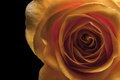 Yellow rose on the black background Royalty Free Stock Photo