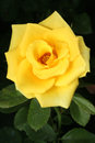 Yellow rose on black background,rose in garden Royalty Free Stock Photo