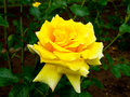 Yellow Rose Blooming