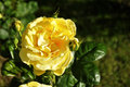 Yellow rose blooming on a green background Stock Image