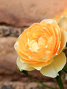Yellow rose on a brick background Royalty Free Stock Photo