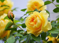 Yellow rose with buds. Royalty Free Stock Photo