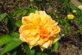 Yellow rose flower among green Royalty Free Stock Photo