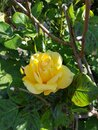 Yellow Rose and Green Leaves Royalty Free Stock Photo