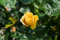 Yellow rose with green leaves Royalty Free Stock Photo