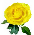 Yellow rose isolated on white Royalty Free Stock Photo