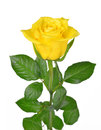 Yellow rose Royalty Free Stock Photo