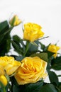 Yellow rose on  light background Royalty Free Stock Photos