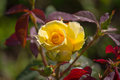 Yellow rose lit by the sun in the garden closeup Royalty Free Stock Photo