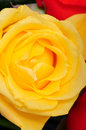 Yellow rose macro close up of a and red petals Royalty Free Stock Photos