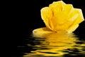 Yellow rose water reflection black Royalty Free Stock Photo
