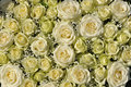 Yellow roses in a bunch Stock Photo