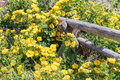 Yellow Roses Climbing on Wooden Rail Fence Royalty Free Stock Photo