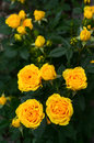 Yellow roses closeup of bush Royalty Free Stock Photos
