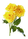 Yellow roses isolate rose bouquet flower flora natural petal bloom color nature floral beautiful romantic closeup bouquet of Stock Photo