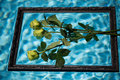 Yellow roses in the picture frame , swim in the pool Royalty Free Stock Photo