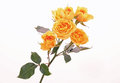 Yellow roses on white background stem of six in horizontal format with copy space Stock Images