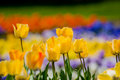 Yellow row of tulips in garden on a colorful bokeh background Royalty Free Stock Photos