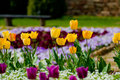 Yellow row of tulips in garden on a colorful bokeh background Royalty Free Stock Photo