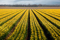 Yellow rows of tulips Royalty Free Stock Image