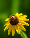 Yellow rudbeckia or black eyed susan wildflower Royalty Free Stock Photo