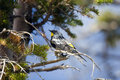 Yellow-rumped Warbler, Dendroica coronata Royalty Free Stock Photography