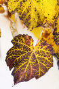 Yellow rusty leaves autumn closeup Royalty Free Stock Photo