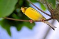Yellow saffron finch bird sicalis also called standing on a tree branch in an aviary in butterfly world south florida Stock Photography