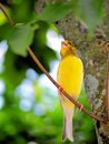 Yellow saffron finch bird sicalis also called standing on a tree branch in an aviary in butterfly world south florida Stock Photo