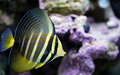 Yellow sailfin tang in saltwater reef this is a macro close up shot of a fish Royalty Free Stock Image
