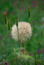 Large Salsify seedhead. Sedella, Spain. Royalty Free Stock Photo